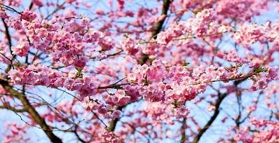 spring - cherry blossom